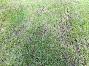 Vertikutierter Rasen