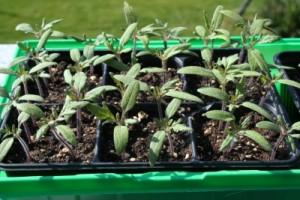 Tomatenpflanzen nach dem Keimen