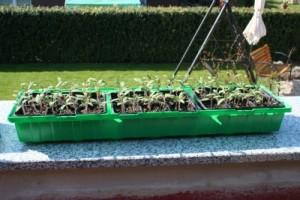 Tomatenpflanzen vor dem Pikieren