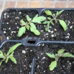 Tomatenpflanzen nach dem Pikieren